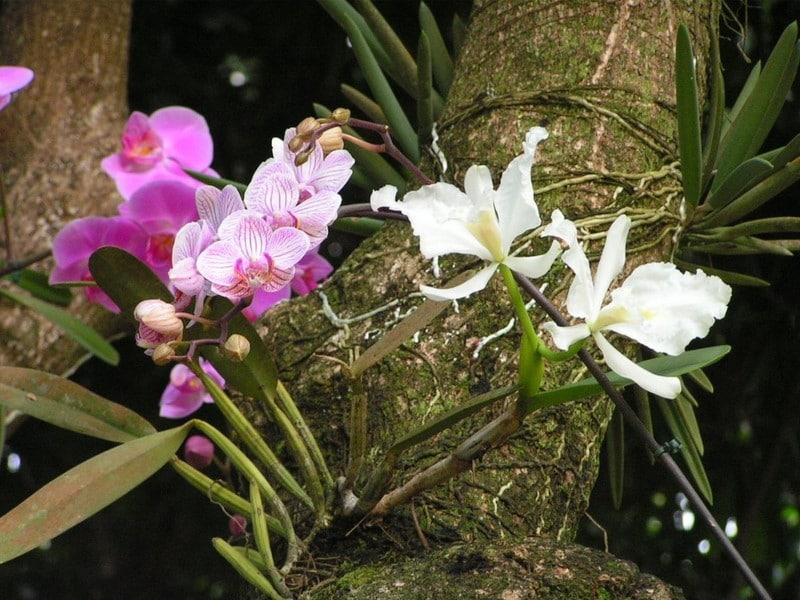 orchidées Guadeloupe